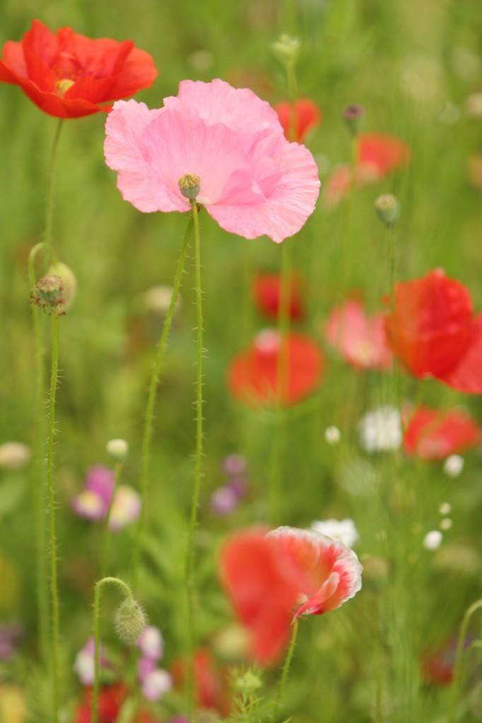 Vallmo Garden Organic UK ©Ulrika Flodin Furås