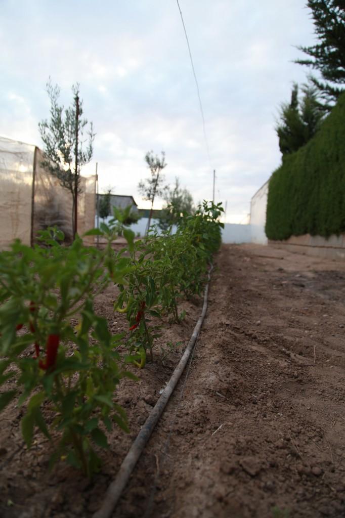 Köksträdgården, chili- och paprika ©Ulrika Flodin Furås