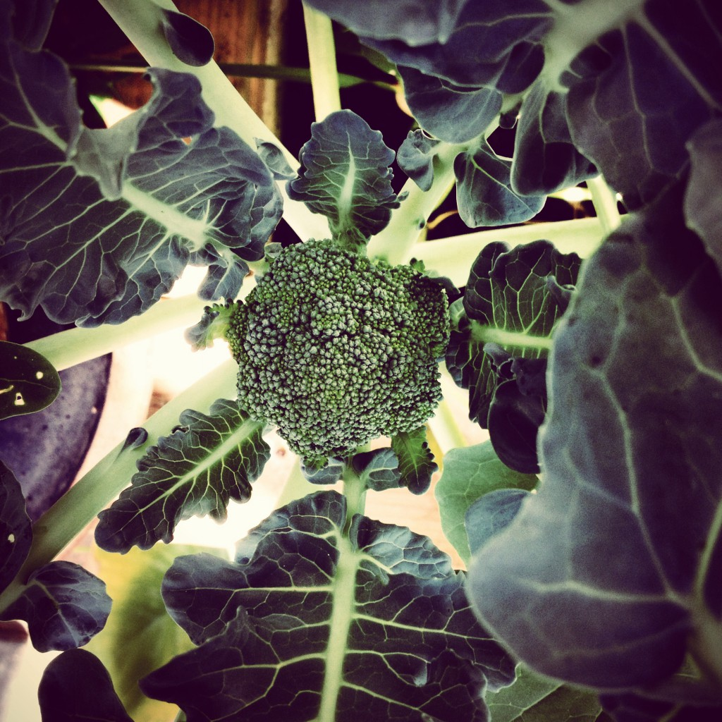 Broccoli plåtad med iPhone ©Ulrika Flodin Furås