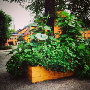 Krubban, odling med SFV iPhone©Ulrika Flodin Furås