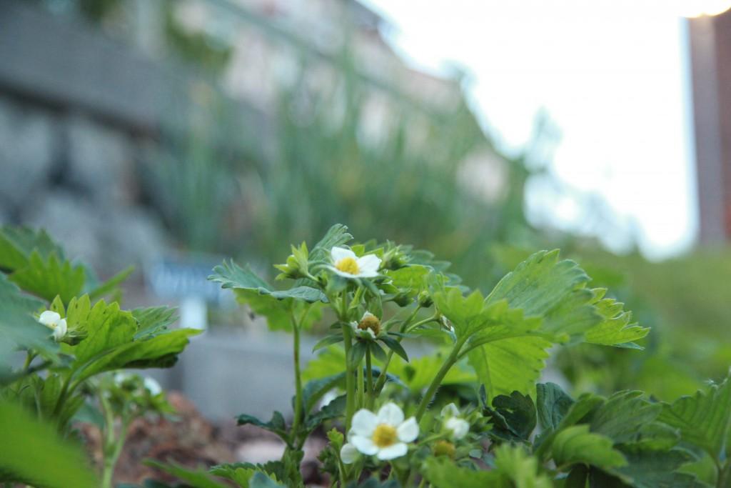 jordgubbsplantor ©Ulrika Flodin Furås