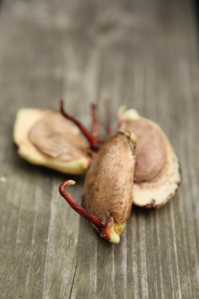 Mangofrön ©Ulrika Flodin Furås