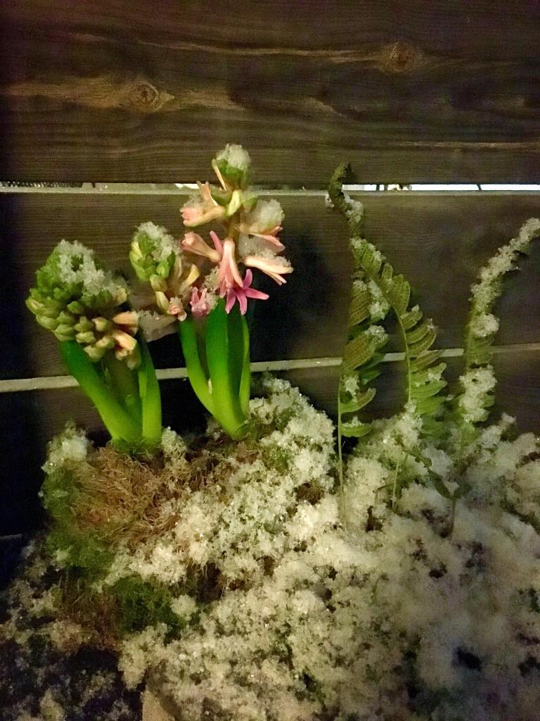 Hyacint i snö