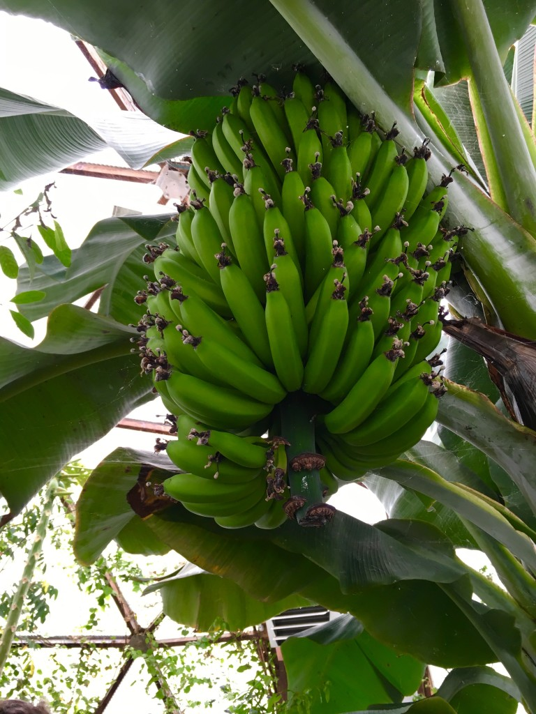 Akvaponiskt odlade bananer ©Ulrika Flodin Furås