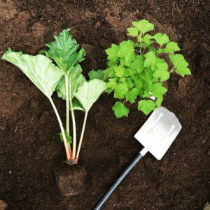 Rabarber som är redo att planteras