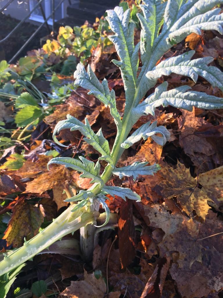 Perenna kronärtskockan Herrgård med jorförbättrande löv runt om©Ulrika Flodin Furås