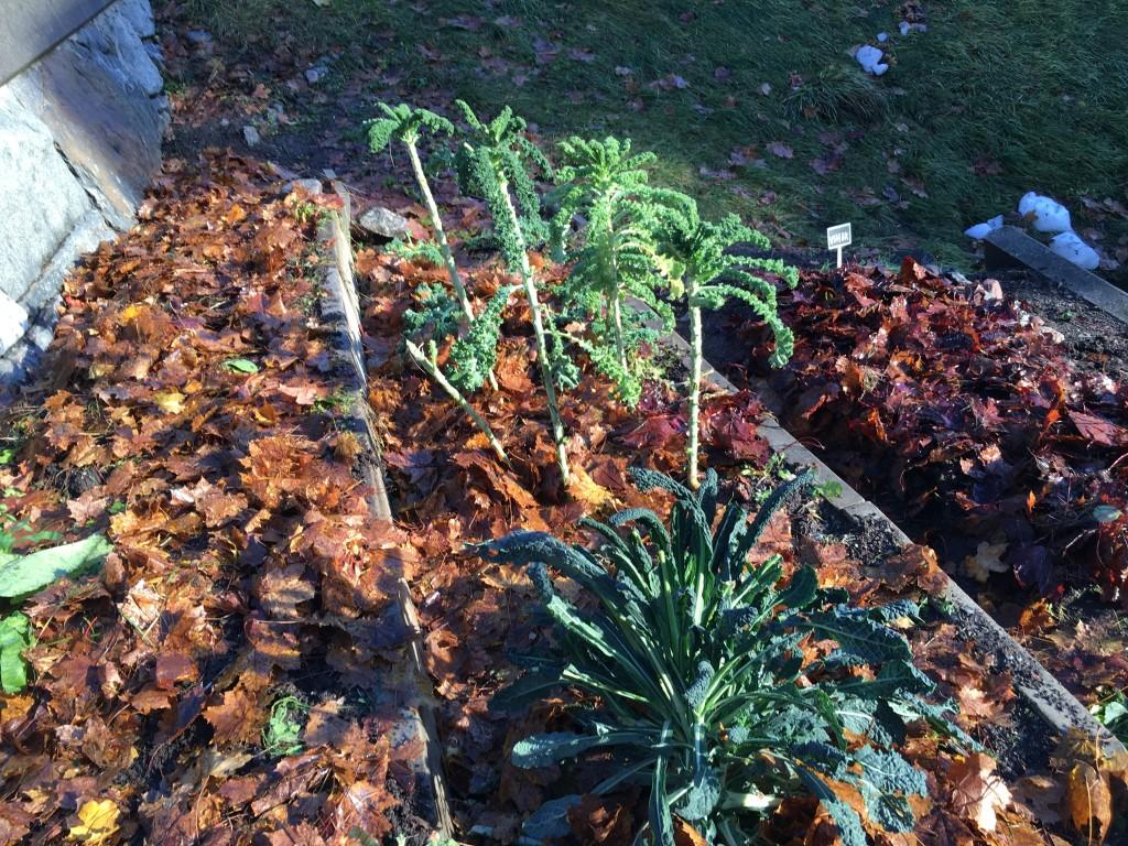 Perenna kronärtskockan Herrgård med jorförbättrande löv i köksträdgården©Ulrika Flodin Furås