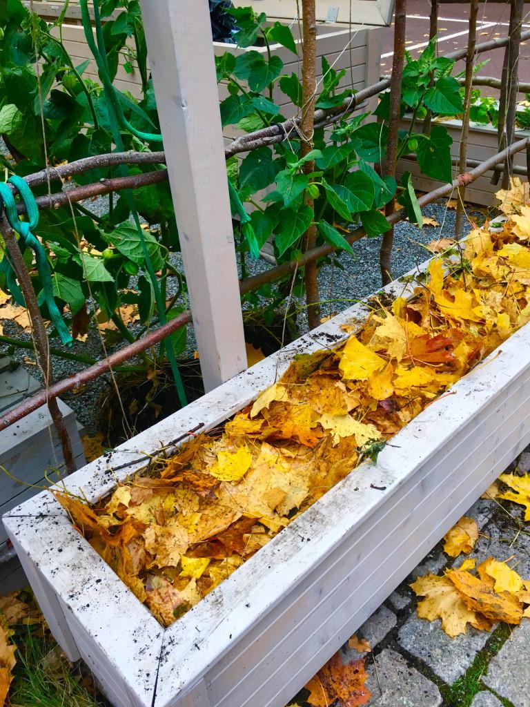 Gula höstlöv i en odlingslåda