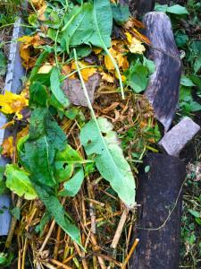 odlingslimpa, plantor som ska komposteras