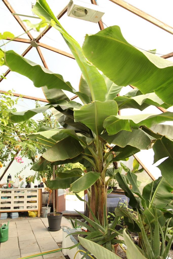 banan akvaponiskt odlad ©Ulrika Flodin Furås