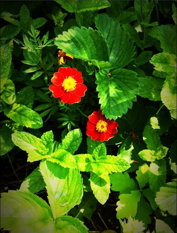 Blommor ifrån vasamuseets trädgård