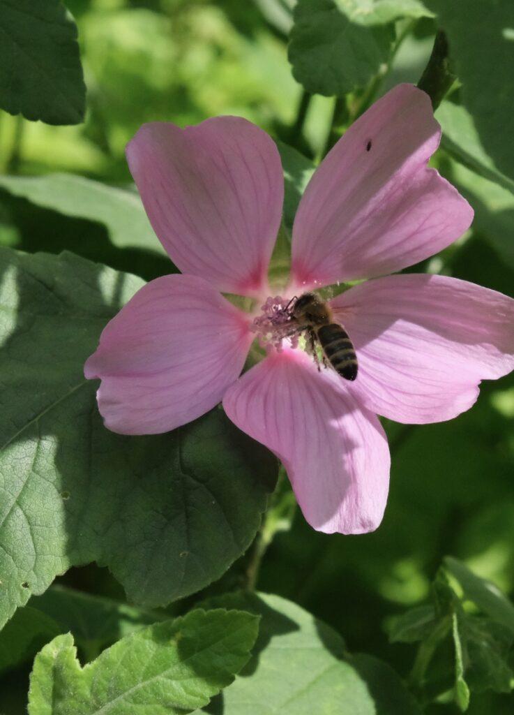biet och malvan