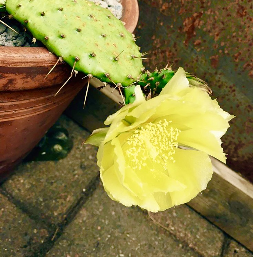 Blommande Opuntia missouriensis