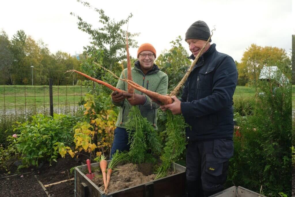 Jim och Gunnar skördar långmorötter
