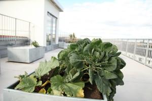 Kål på en takträdgård