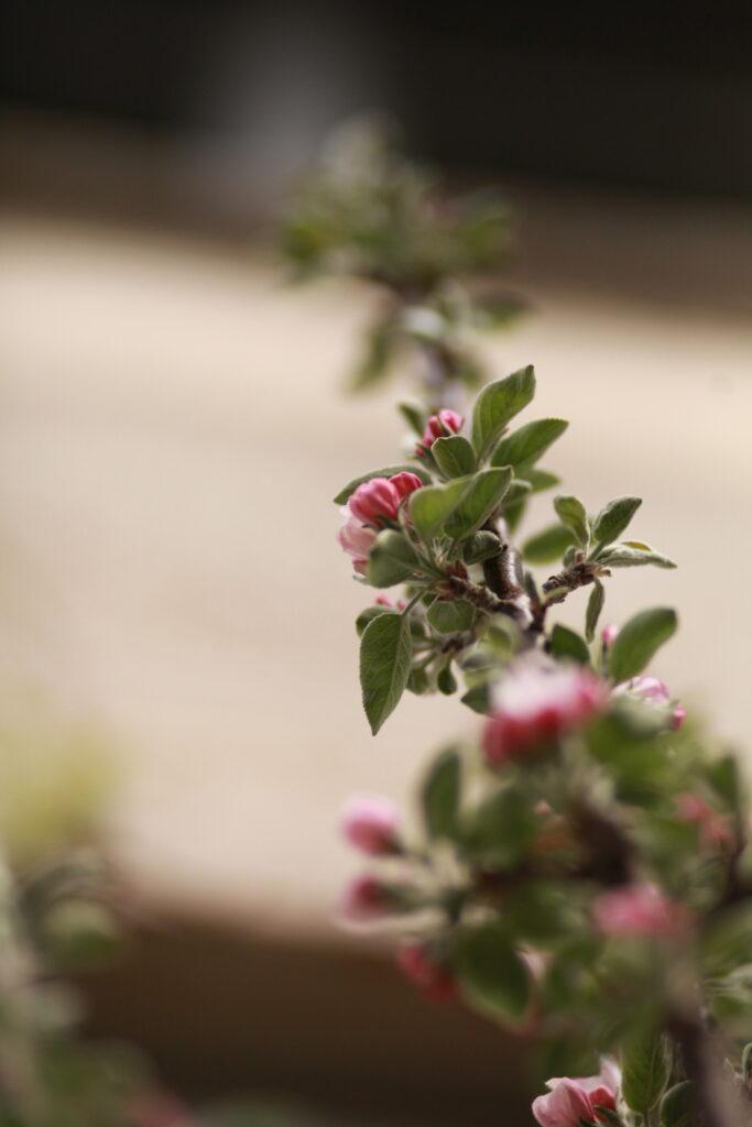 Pelaräppelträd på uteplatsen. Gatsmart