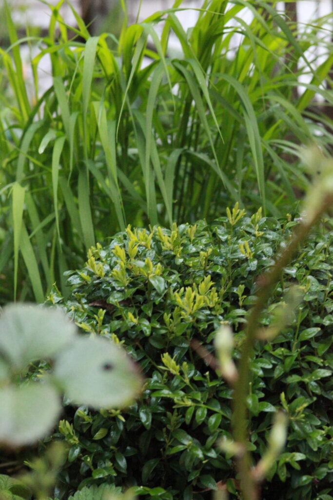 Klippt buxbom och gräs, olika strukturer i grönskan pop uteplatsen. Gatsmart