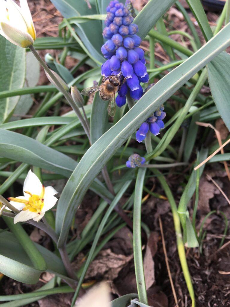 Vildtulpan och pärlhyacint gillas av pollinerarna.