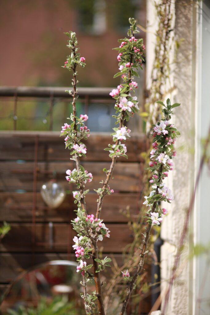 Pelaräppelträd där några grenar fått växa ut. Gatsmart