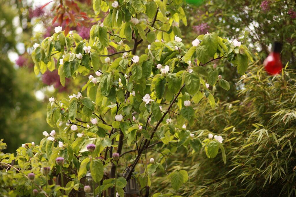 Blommande kvittenträd Cydonia oblonga på uteplatsen. Gatsmart