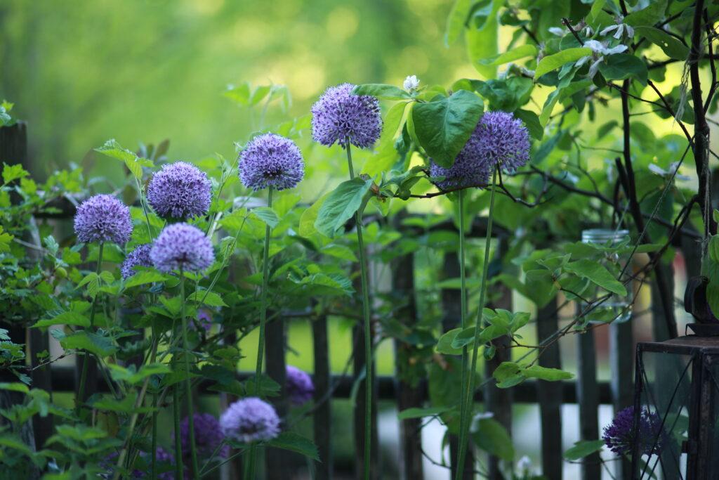 Kirgislök gillas av pollinerarna