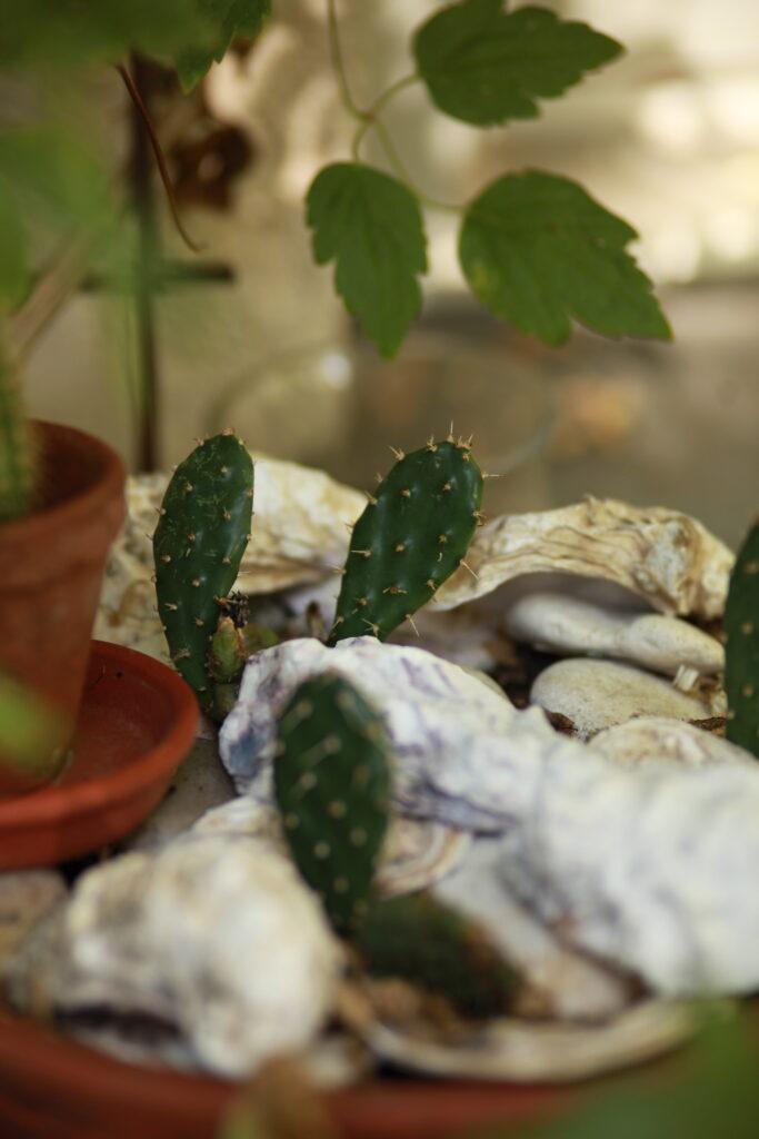 Frilandskaktus Opuntia