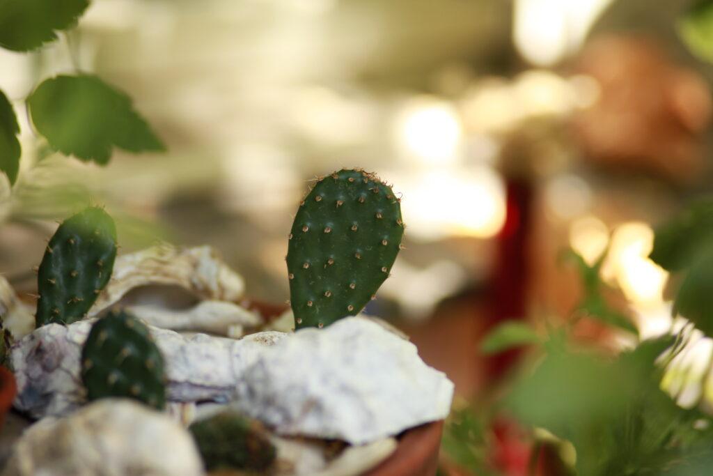 Opuntia missouriensis