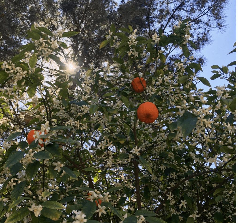 Pomeransträd i Murcia