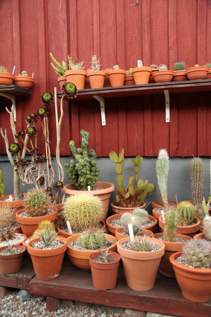 kaktusar på lotten