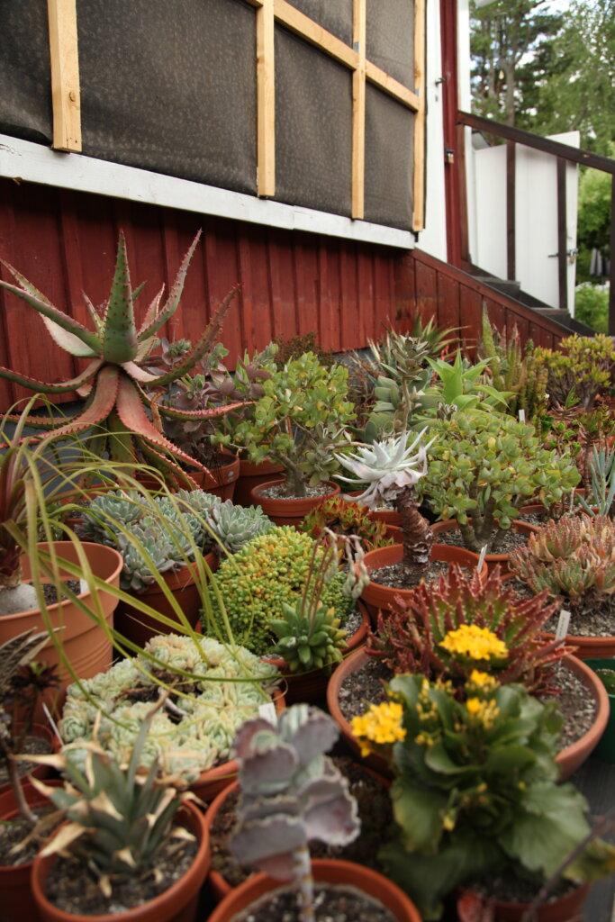 kaktusar och suckulenter på kolonin