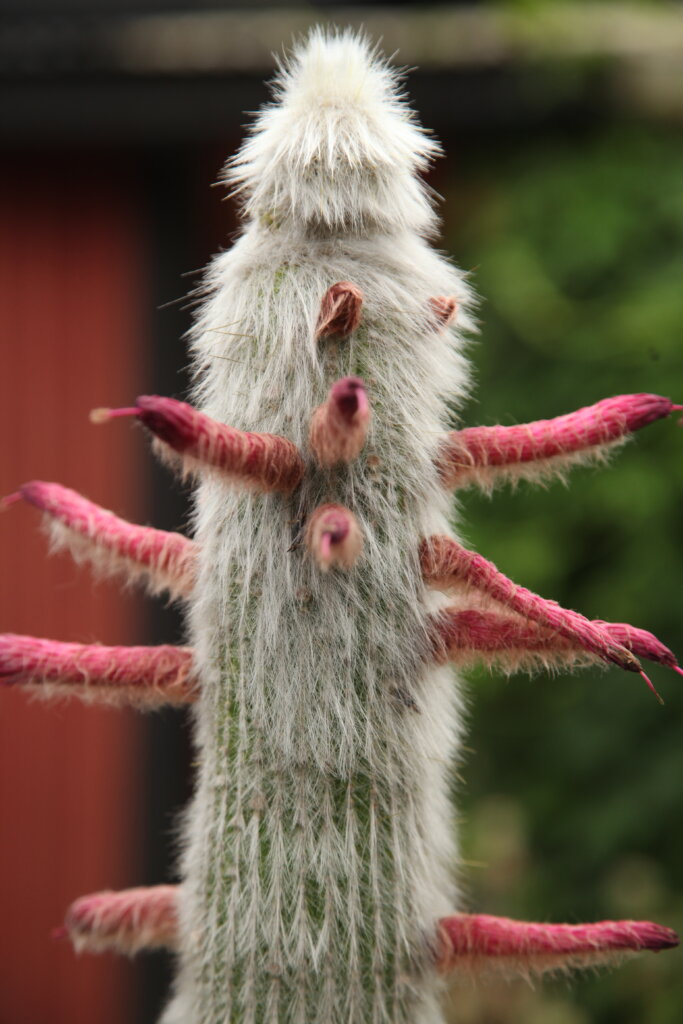 kaktusen silverpelare