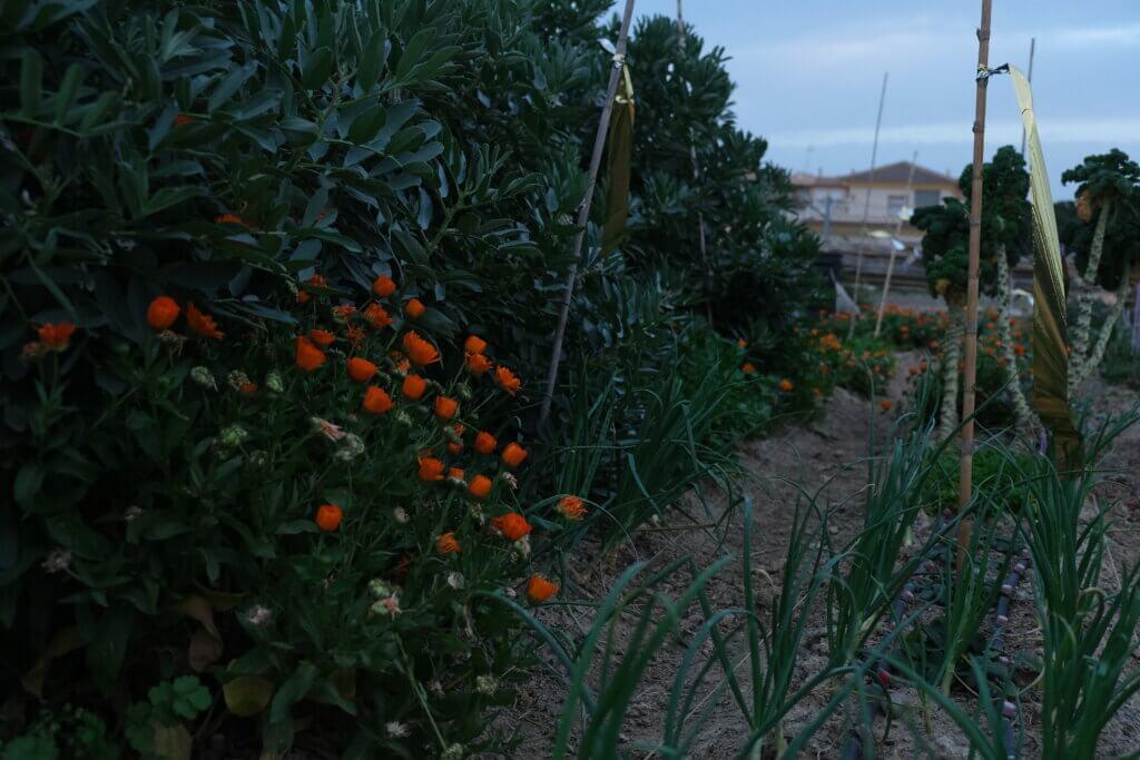 Ringblommor, lök och bondbönor på odlingslotten i skymningen.
