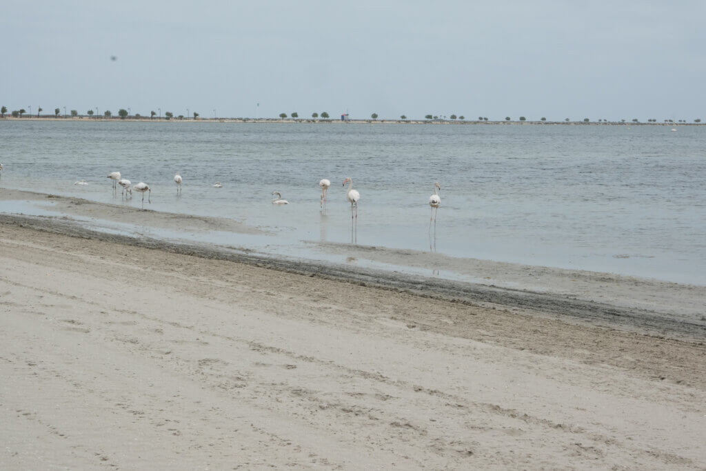 Flamingos i Mar Menor, Playa Villananitos