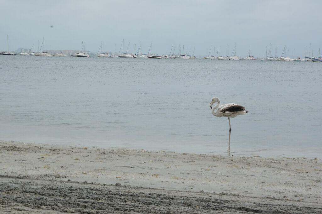 Flamingo i Mar Menor